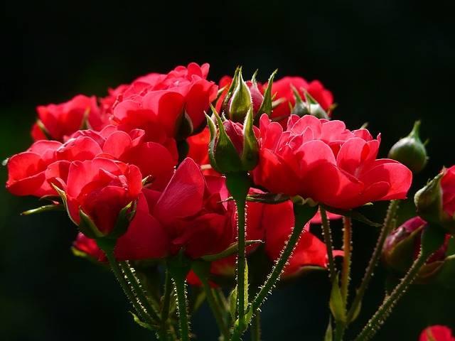 Red Roses Rose - Free photo on Pixabay (404160)