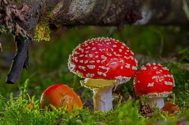 Fly Agaric Mushroom Red - Free photo on Pixabay (404166)