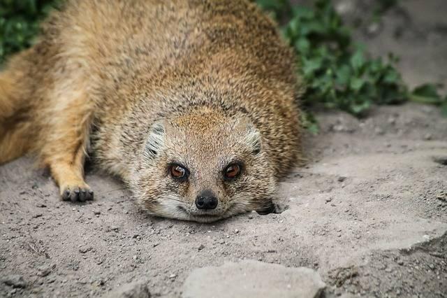 Mongoose Rókamanguszta Smile - Free photo on Pixabay (405258)