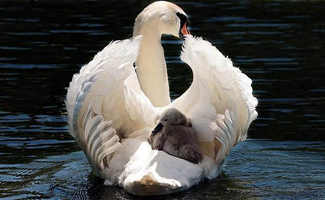 Swan Baby White - Free photo on Pixabay (406464)