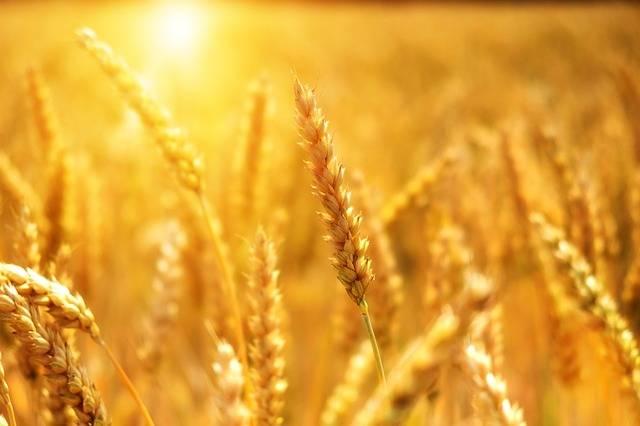 Wheat Grain Cornfield - Free photo on Pixabay (476868)