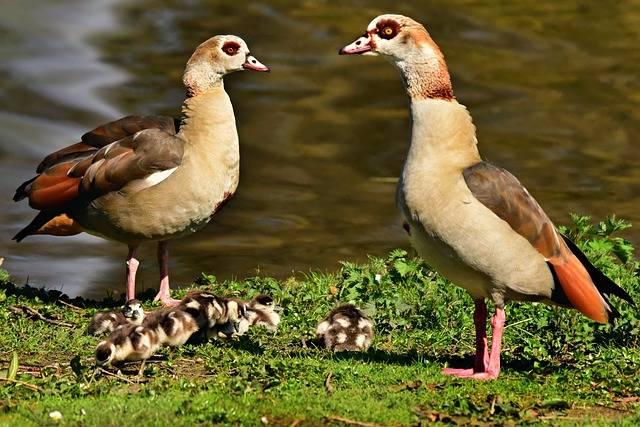 Nile Goose Duck Water Bird - Free photo on Pixabay (479691)