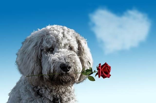 Valentine'S Day Dog Animal - Free photo on Pixabay (508334)