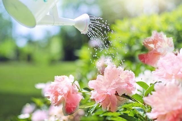 Watering Flowers Peonies - Free photo on Pixabay (510730)
