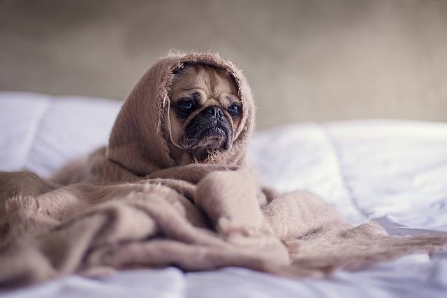 Pug Dog Blanket - Free photo on Pixabay (523555)