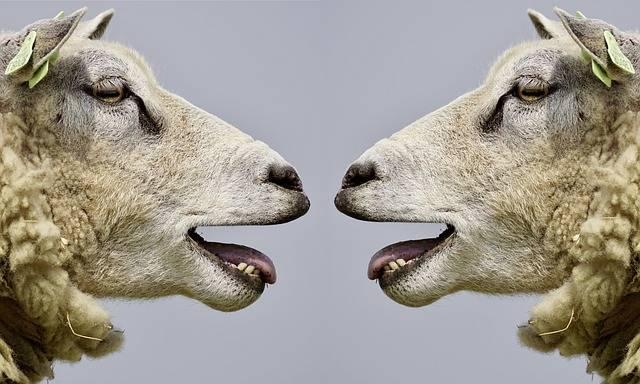 Sheep Bleat Communication - Free photo on Pixabay (540331)