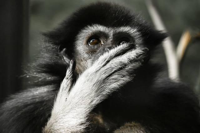 Animal Monkey Gibbon - Free photo on Pixabay (565277)