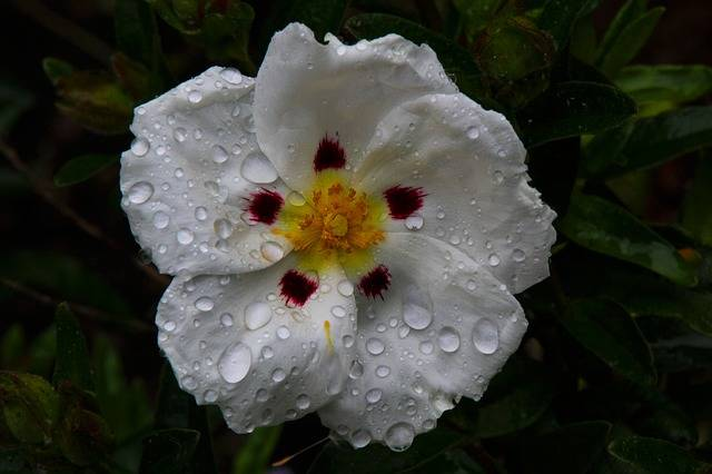 White Cistus Flower - Free photo on Pixabay (604882)