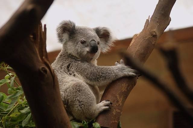 Koala Mammals Wildlife - Free photo on Pixabay (604889)