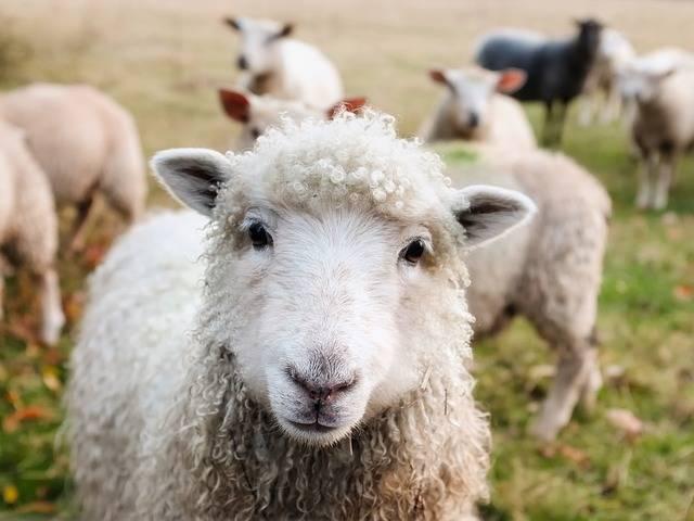 Ireland Sheep Lambs - Free photo on Pixabay (604892)