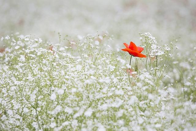 Poppy Gypsophila Elegans Red Color - Free photo on Pixabay (727553)