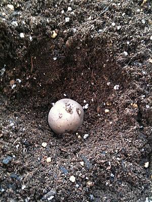 種イモを植える