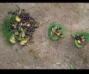 おままごと葉っぱのお皿、どんぐり、ツバキの実、スギナ  など