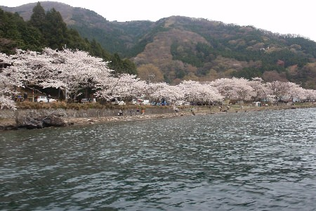 美しいマキノ・桜守の会
