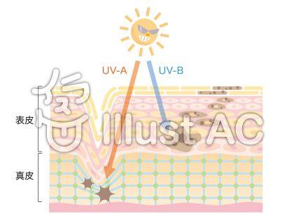 肌_紫外線の影響_断面図