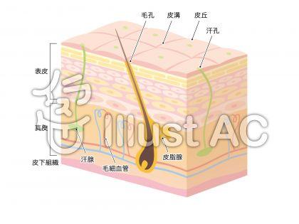 肌の断面図_3D