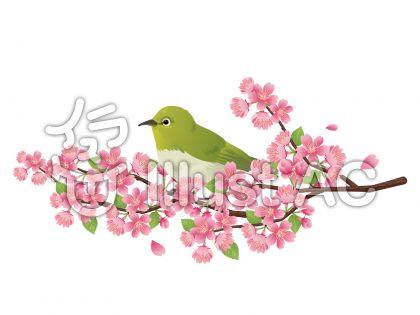メジロと桜の木の挿絵・イラスト01