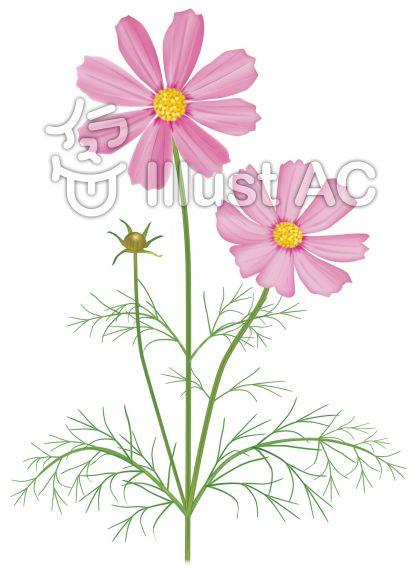 コスモス/身近な花