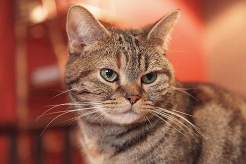 """""""おしっこ玉""""が多かったら急いで病院へ?専門医が教える老猫の危険信号"""
