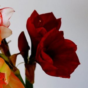 クリスマスの記憶と、クリスマスを彩るアマリリスの花