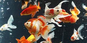 金魚の大水槽(足立区生物園)