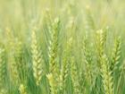 小麦フスマ