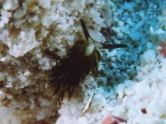 セジロモウミウシ
