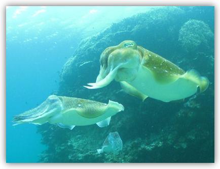 コウイカの仲間コブシメ