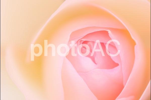 とろけるような花びらの写真