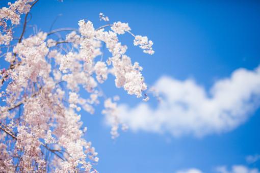 自然 植物 花 花びら 桜 サクラ 集まる 密集 沢山 多い 満開 開く 咲く 可愛い 見頃 見物 花見 春 空 雲 白い 青い 青空 天気 晴天 晴れ アップ 加工 無人 風景 景色 屋外 室外 幻想的