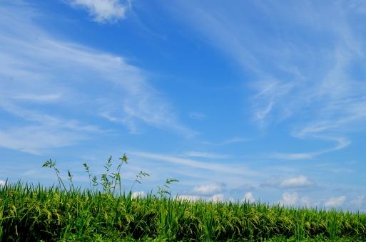 秋空と水田の写真