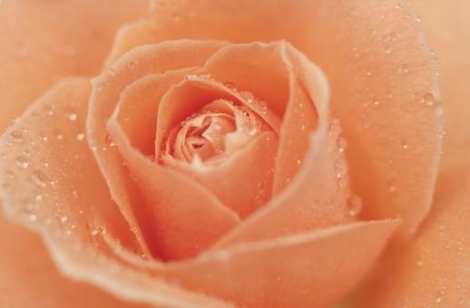 バラ_オレンジ-5の写真