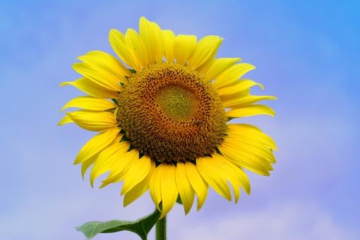 夏 季節 サマー ひまわり ヒマワリ 向日葵 花 植物 花びら 大輪 空 青空 黄 黄色 種 太陽 景色 風景 緑