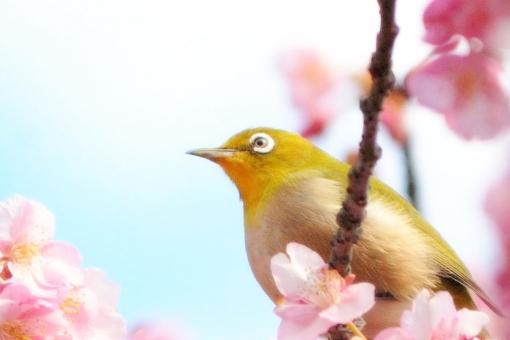 目 白 青 空 ピンク 河津桜 桜,背景,テクスチャー 花,梅,花びら,桃色,枝,小枝,自然,背景,かわいい,美しい,コピースペース,春,日本,満開,和,バックグラウンド,きれい,複数,上品,シンプル,背景素材,清楚,可憐,生花,ピンク,散る,桃色,メジロ,めじろ,とり,鳥,小鳥