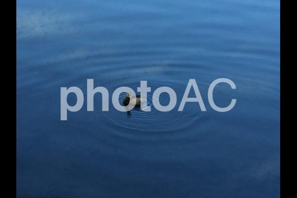 水辺の鳥の写真