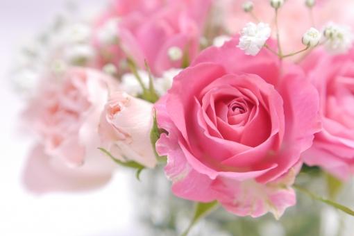 優しい色の薔薇の写真