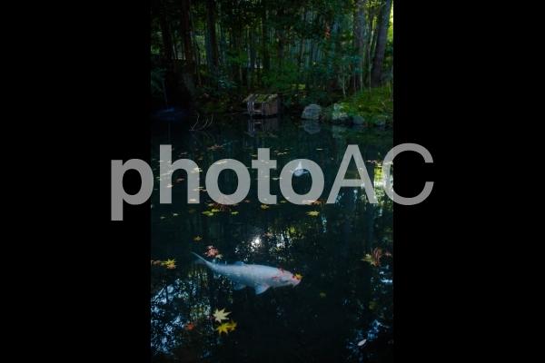 鯉と紅葉と池の写真