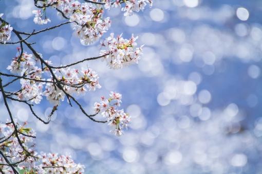 桜と小川の写真