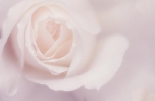 ふんわり薔薇の背景の写真