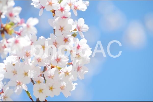 桜と青空の写真