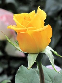 どの色の薔薇も美しいの写真