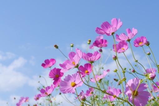 秋の空 秋晴れ 一面 雲 晴れ 屋外 青空 水色 青 エコ 環境 ブルー テクスチャ スカイブルー 日中 天気 快晴 光 群生 晴れやか すっきり ソフト やさしい コスモス畑 ガーデン 空 白い花 風景 景色 グリーン 可憐 ピンクの花 庭 9月 10月 11月 背景画像 秋の花 9月 10月 11月 テキストスペース 秋空 九月 十月 コピースペース 畑 園芸 ガーデニング 季節 のんびり 散歩 公園 緑 きれい 癒し 野原 花弁 花びら コスモス こすもす 秋桜 植物 草花 花畑 ピンク 栽培 さわやか バック 素材 白 広角 爽快 背景 バックグラウンド 爽やか バックグランド 背景素材 バックイメージ 背景デザイン 透明感 風 そよ風 自然 壁紙 草原 花 かわいい 可愛い 明るい 秋