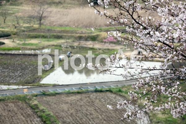 桜の咲く田んぼで田植えの準備の写真