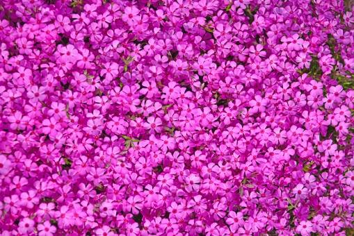 壁紙 背景 芝桜 春の花 花 桃色の花 春