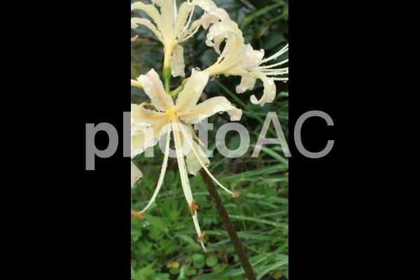 白い彼岸花の写真