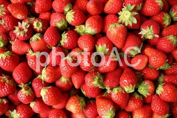 イチゴ 苺 いちご の写真