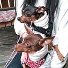 第71回 同時に保護された運命の犬3頭 ミニピンでつながる「ママ友」からの近況報告