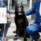 シェパードの嘱託警察犬「あたり」、雪山のハンカチに気づいて捜索で大活躍!