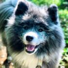 がんから再起、支えは大きな秋田犬 一緒の時間が「人生のごほうび」