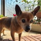 不思議な縁でハワイからやって来た保護犬フロリアンヌ。今では家族のプリンセス!